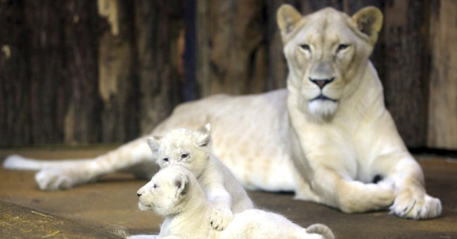 Rare white lion cubs on the prowl at Magdeburg Zoo