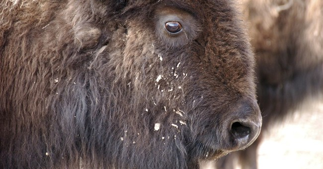 Hundreds of bison sent to slaughter over tribes' objections