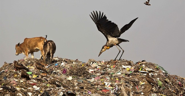 Once-reviled scavenger bird now the pride of its Indian home
