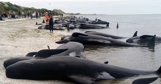 New Zealanders race to save whales after 400 stranded