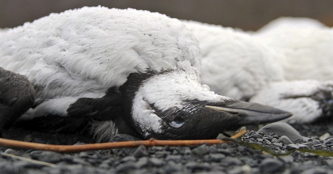 Warm ocean water triggered vast seabird die-off, experts say