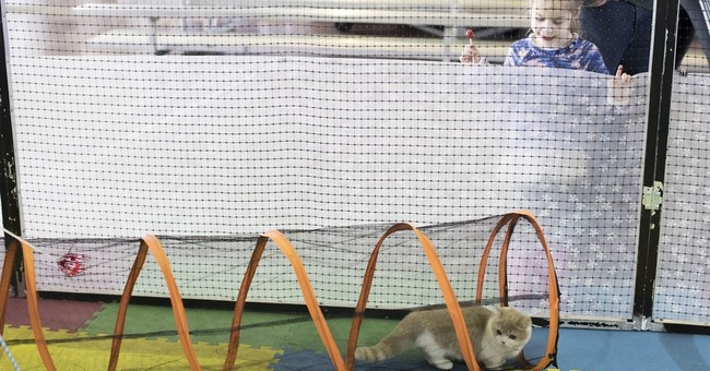 Cats at the Westminster dog show? Sort of, in a first