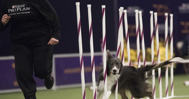 Border collie, Trick, wins agility at Westminster dog show