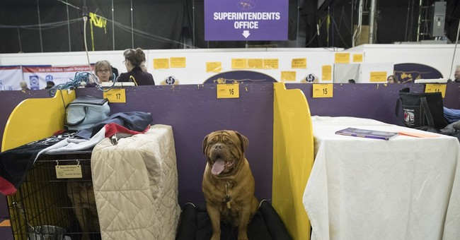 They might be giants: Life with Westminster's big dog breeds