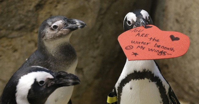 Showing some love: Penguins get Valentine's hearts for nests