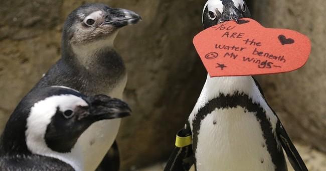 Showing some love: Penguins get Valentine's hearts for nests