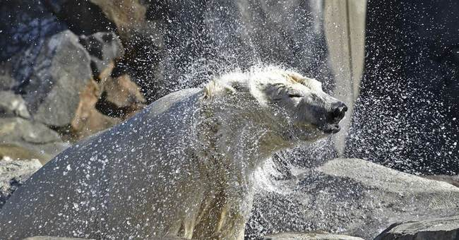 Ohio zoo's polar bear moves to Chicago to find romance