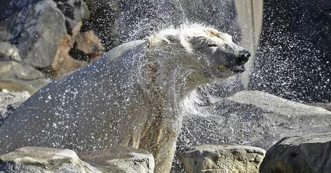 Ohio zoo's polar bear moves to Chicago to find romance