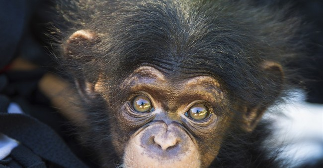 Baby chimp abandoned by mom to join Kansas City Zoo exhibit