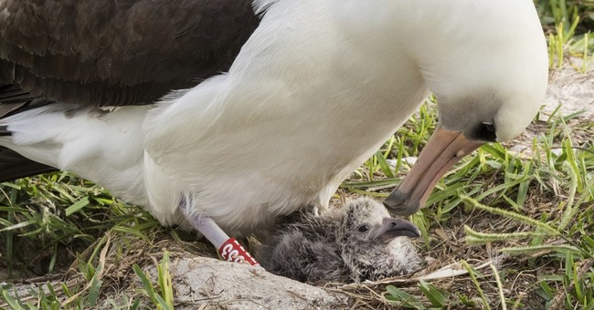 World's oldest seabird hatches new chick at Midway Atoll
