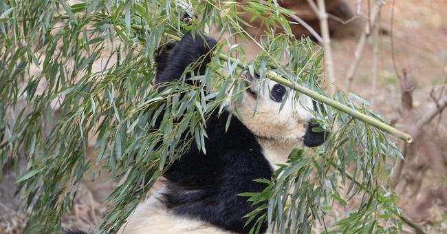 US-born panda Bao Bao lands in China after leaving DC zoo
