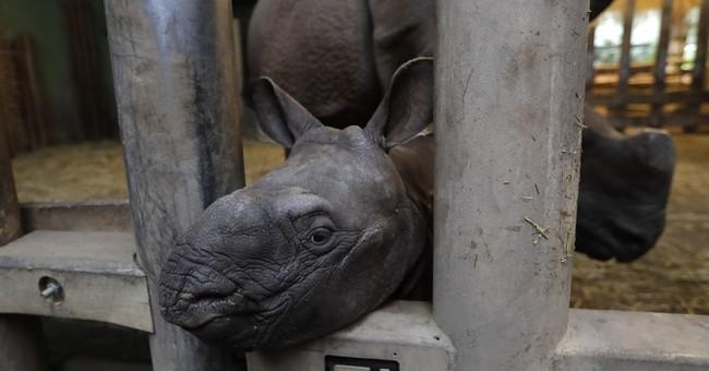Czech zoo welcomes baby Indian rhinoceros