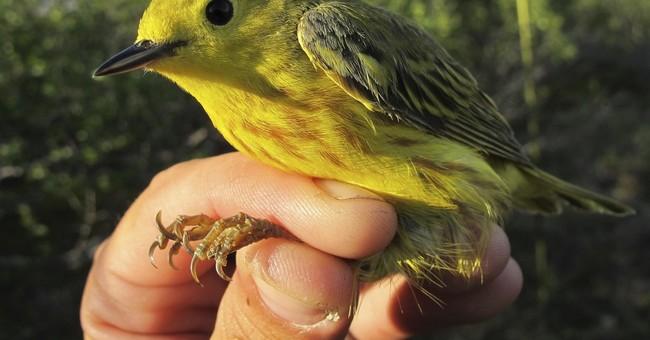 Warming, taller shrubs may affect birds breeding on tundra