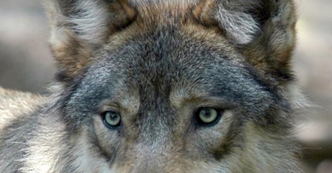 Court rules to lift federal protections for Wyoming wolves