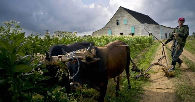 AP PHOTOS: Cuban tobacco farmers celebrate a bumper crop