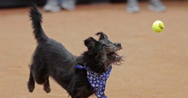Who's a good dog? The tennis ball retrievers at Brazil Open