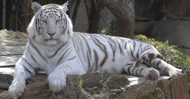 King Zulu, beloved white Bengal tiger at Audubon Zoo, dies
