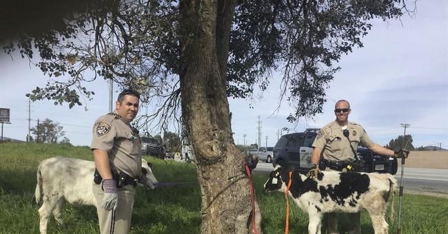 Holy cow! California police find 2 calves crammed inside car