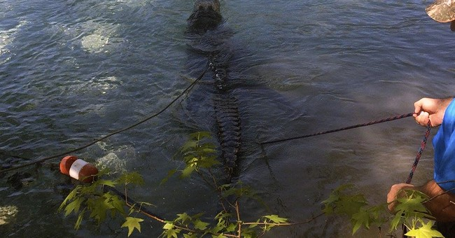 Florida deputy, trappers pull big gator from swimming hole