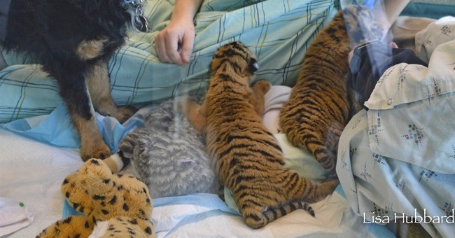 Dog takes over as tiger cubs' 'nanny' at Cincinnati Zoo