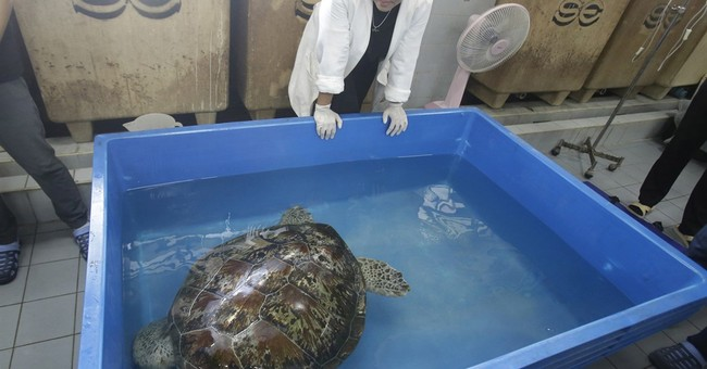 Sea turtle flaps flippers in 1st rehab swim after surgery
