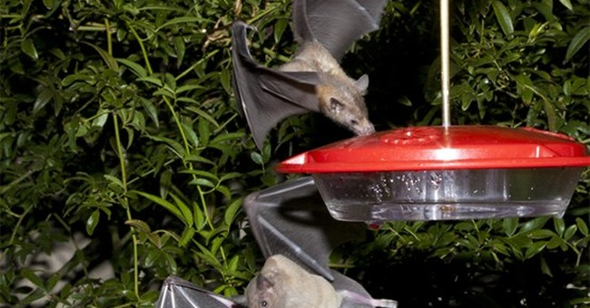Bat-friendly tequila, research play role in species recovery