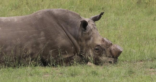 Despite poaching, South Africa plans for rhino horn trade