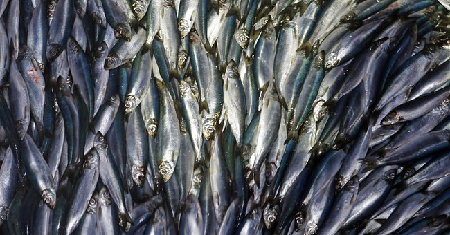Drop in herring a mystery in Maine as bait price booms