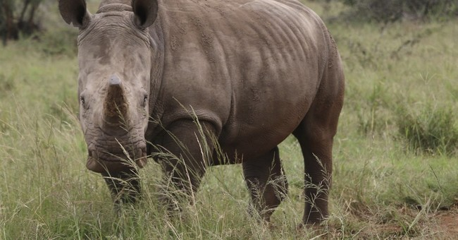 Despite poaching, South Africa plans for rhino horn trade