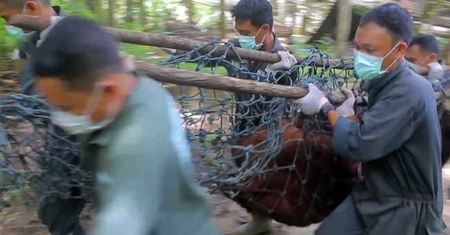 Rescued orangutans airlifted to freedom in Borneo