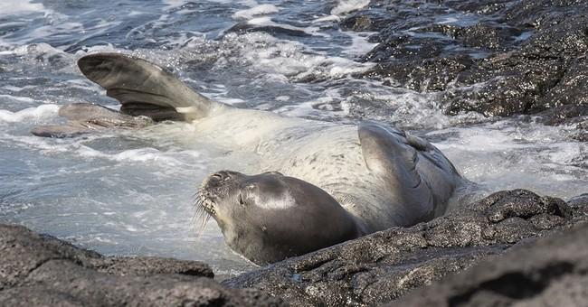 APNewsBreak: Rare monk seal dies in fish farm off Hawaii