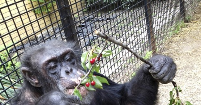 New York court to determine if chimp is legally a person