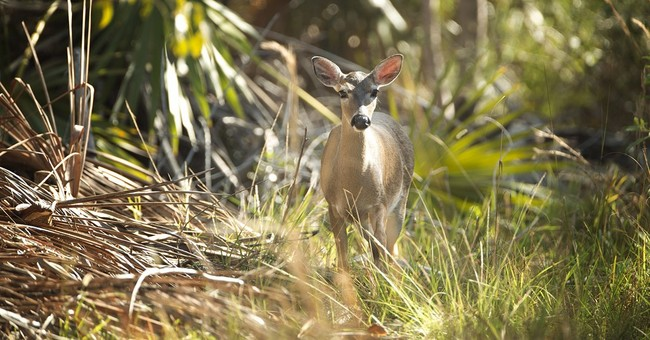 Official: Pest that's been killing Key deer will be defeated