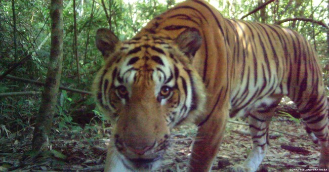 Thai jungle seen as breeding ground for Indochinese tigers