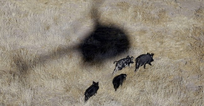 Oklahoma may legalize hog hunting from helicopters