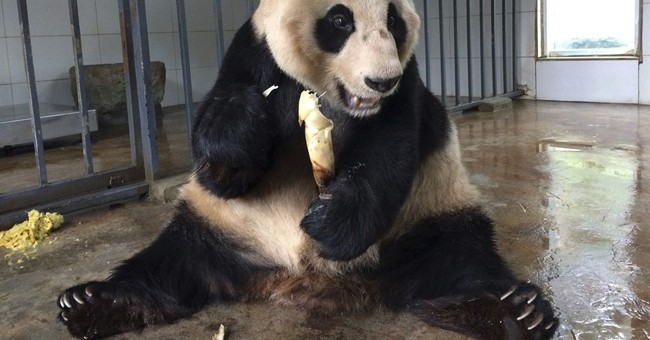 From poor eyesight to bad teeth, pandas' needs grow with age
