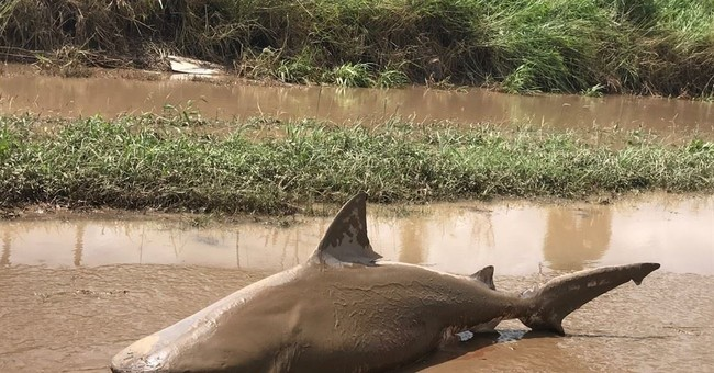 Australian cyclone leaves bull shark stranded on land