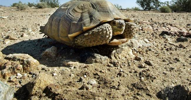 Vehicles kill 3 tortoises in Joshua Tree National Park