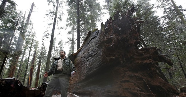 Fans mourn death of California's famous 'drive-thru' sequoia