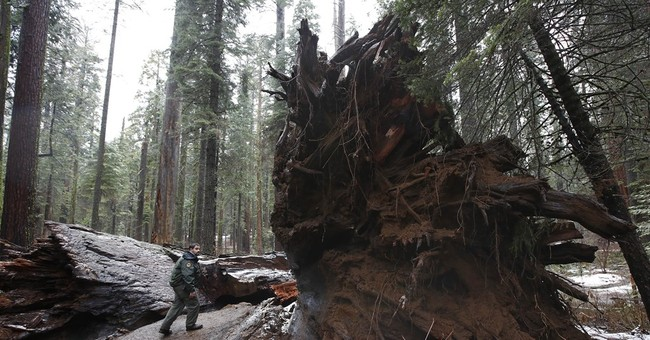 Weakened by drought, trees are falling in rainy California