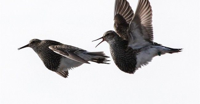 Long-distance birdie call: Sex-crazed pipers travel for tail