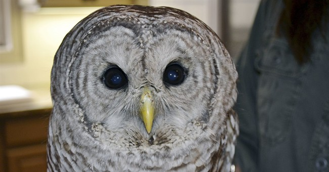 Owl stuck between truck cab and trailer on the mend