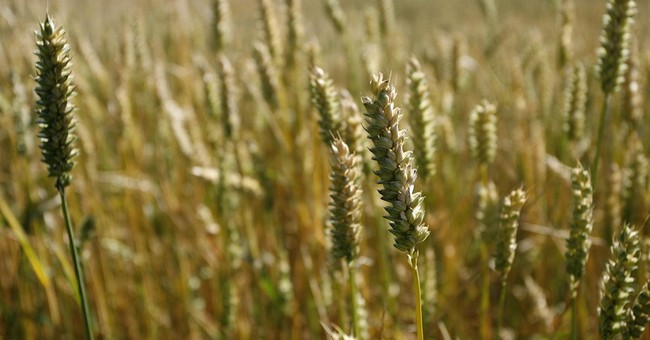 German researchers sequence rye genome for first time