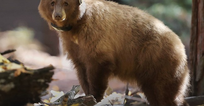 Watch their steps: Track journey of Yosemite bears online