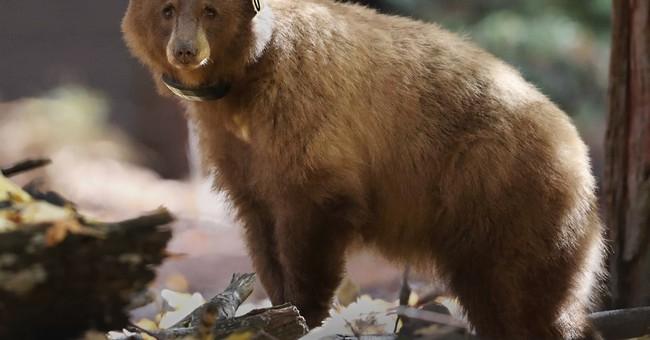 Watch their steps: Track journey of Yosemite bears online