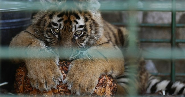 3 tiger cubs destined for zoo in Syria rescued in Lebanon
