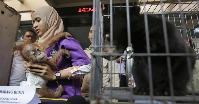Indonesia arrests man who bought orangutan, leopard, bear