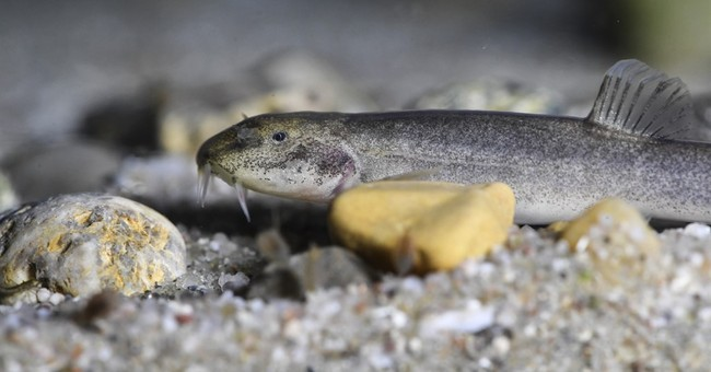 German spelunker discovers Europe's first cave fish