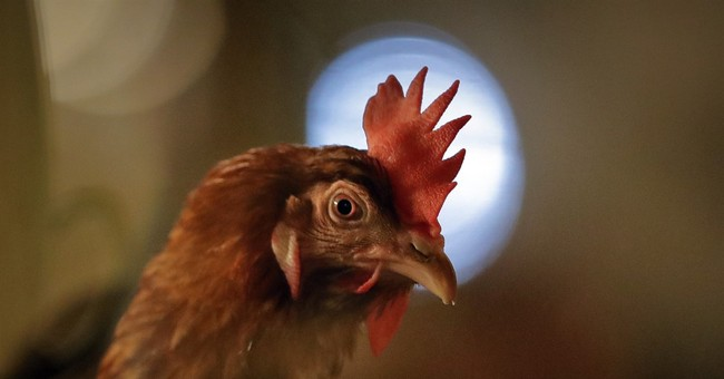 Animal Rights Activists Promise Orthodox Jews Won't Be Physically Assaulted for Killing Chickens