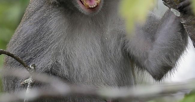 Florida wants to remove virus-excreting wild monkeys